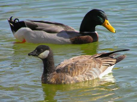 2 Cackling Goose B Hutchinsii Minima Swimming With A Large Domesticated Mallard Note The Size And Dark Chest Which Can At Times Be Almost